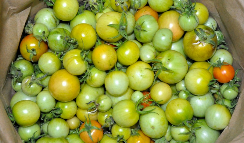 Brown paper bag full of small green tomatoes.