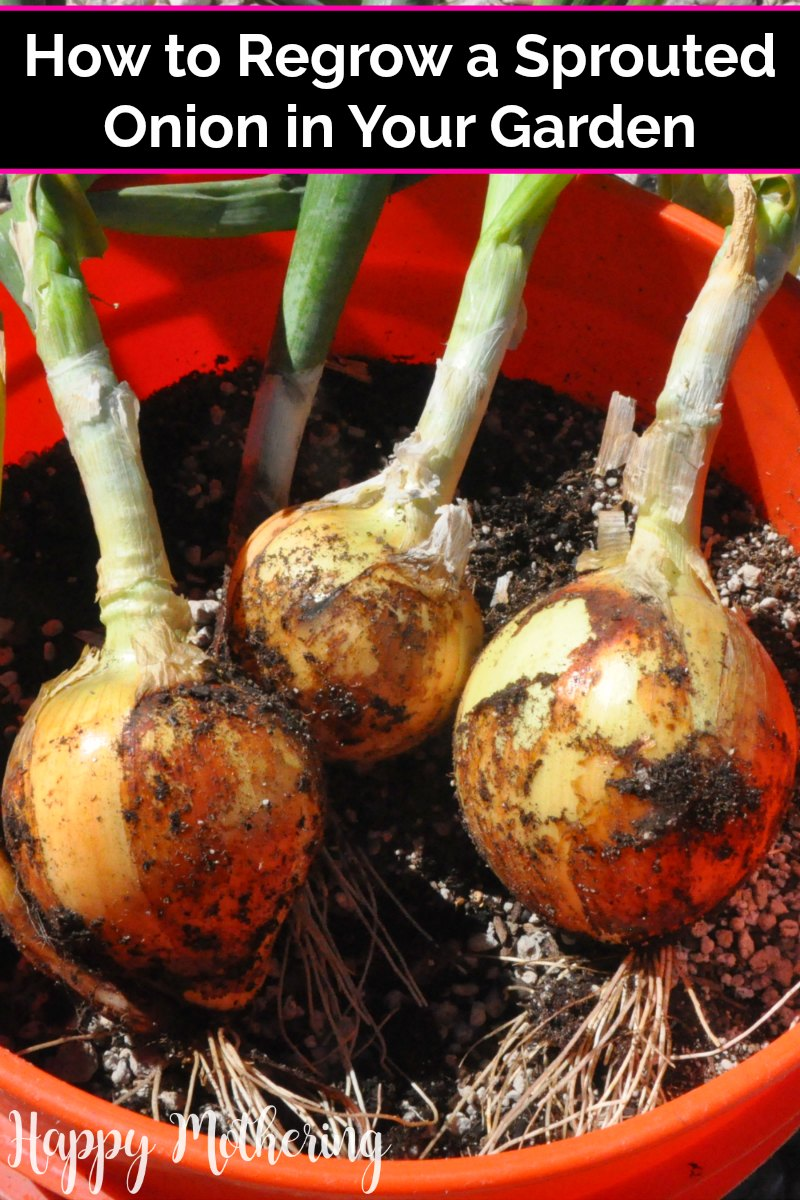 Three onions in a 5 gallon bucket that were grown from a sprouted onion