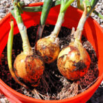 Three onions that were grown in a 5-gallon bucket from onion sprouts
