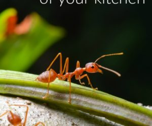 5 Natural Ways to Keep Ants Out of the Kitchen