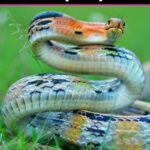 Orange, black and white snake curled up in the grass ready to strike