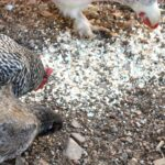 Chickens eating homemade egg shell calcium supplement off the ground