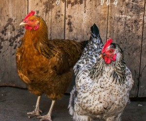 5 Ideas for Keeping Your Backyard Chickens Busy & Happy
