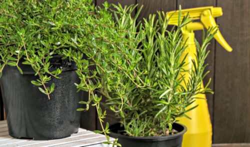 herbs in black pots next to a yellow spray bottle.