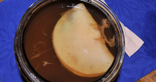 SCOBY floating in jar of kombucha.