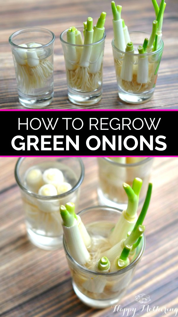 6 glasses of green onion scraps growing in them