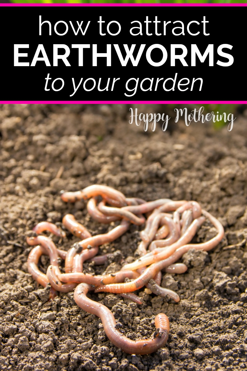 Earthworms wriggling in the soil of the garden