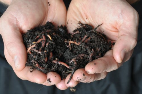 Two hands holding soil that's full of earthworms from the garden
