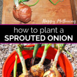 Onion sprout planted in a 5 gallon bucket over a bucket with 3 fully grown onions from sprouts