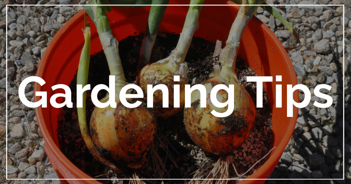 Gardening Tips category. With a background of 3 onions grown in a 5 gallon bucket.